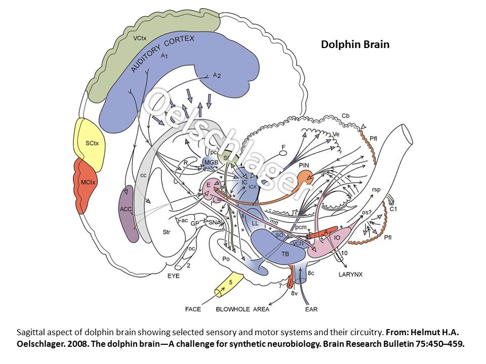 The Dolphin Brain – A Logical Look   Animal Biology and Behavior
