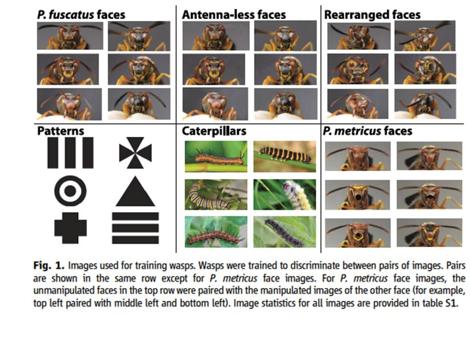 22.Sheehan, M. J., & Tibbetts, E. A. (2011). Specialized face learning is associated with individual recognition in paper wasps. science, 334(6060), 1272-1275.